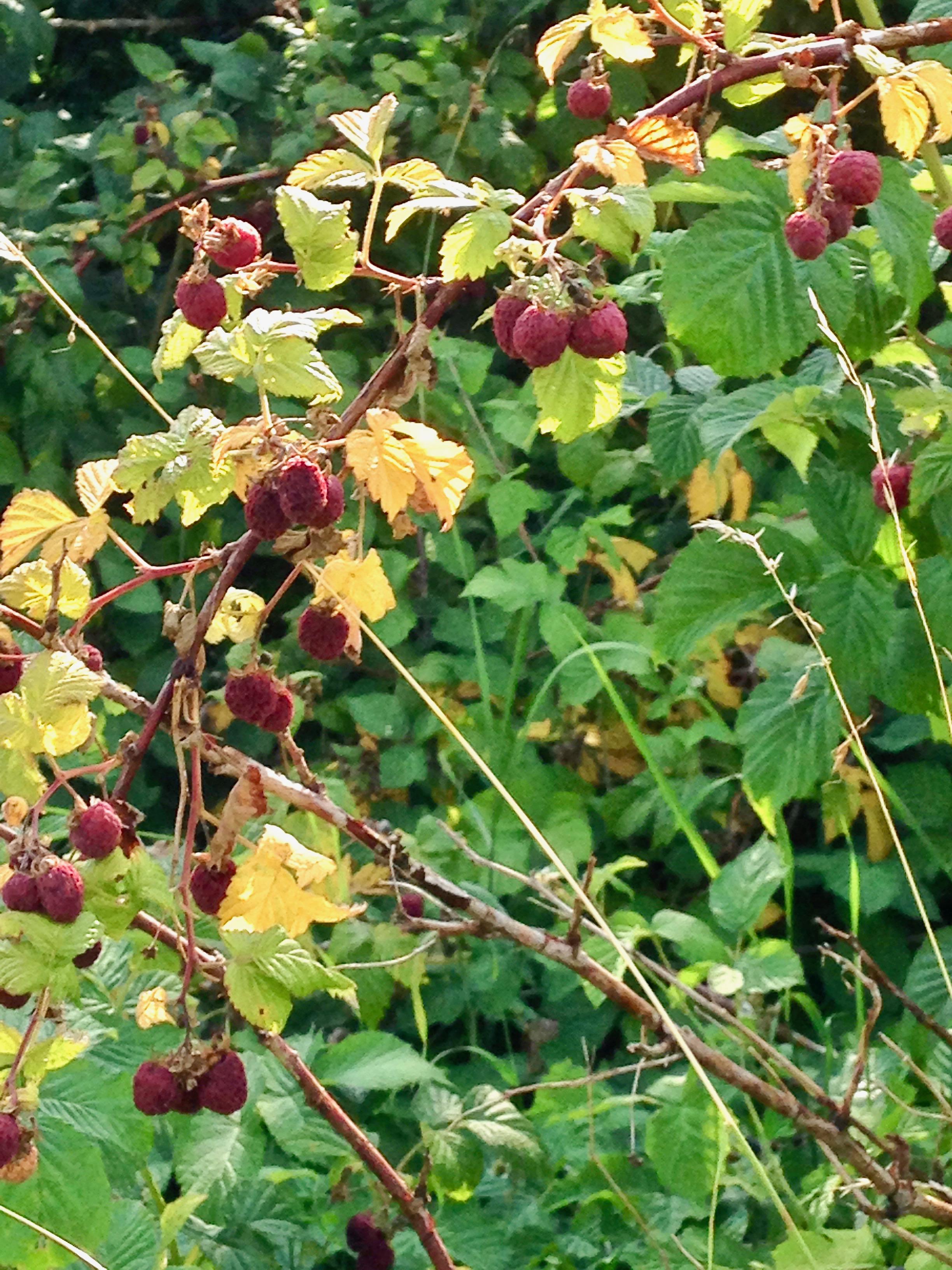 Himbeerrute mit Himbeeren und gelben Blättern